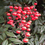 Nandina Shrub Berries