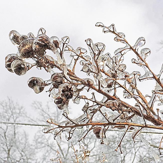 Crepe Myrtle pods in ice - Lisa Rivas 2015